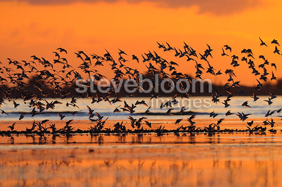 Laying of Dunlin at sunset France (Dunlin)