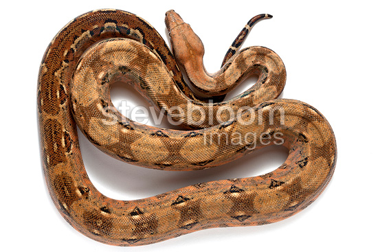 Boa constrictor 'Cancun' in studio on white background