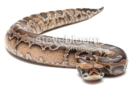 Borneo Short-tailed Python in studio on white background