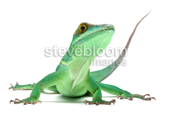 Baracoa Cuban anole in studio on white background