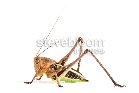 White-faced Bush-cricket male in studio on white background