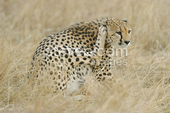A Cheetah of the