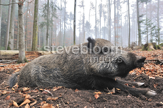 Big old Male European Wild boar laying on the ground (Wild boar)