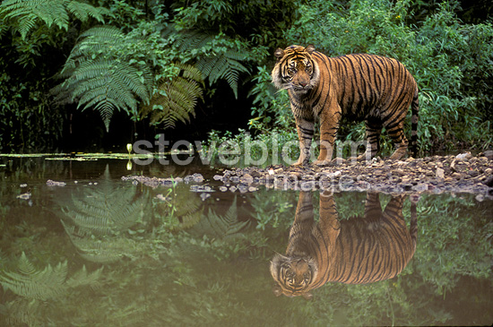 Sumatran tiger in a river in Asia (Sumatran tiger)