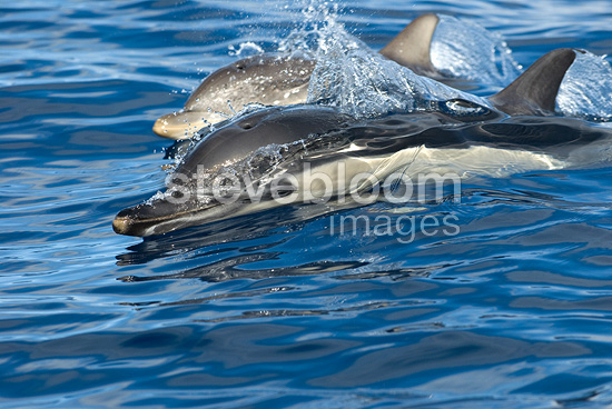 Eye of a surfacing common dolphin Azores (Short-beaked saddle-backed  (common) dolphin)