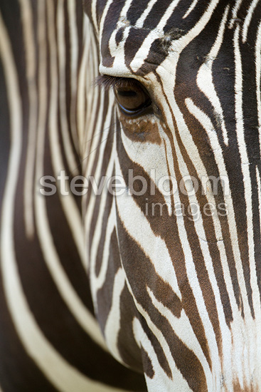 Close up of a Burchell's Zebra face Botswana (Burchell's zebra )