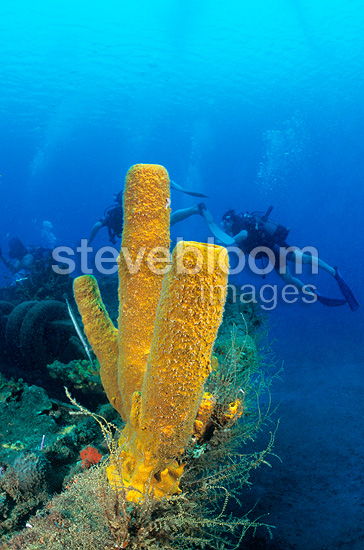 Divers andTubular yellow sponge on wreck Martinique