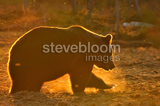 Brown bear backlighting in a clearing in autumn Finland  (Brown bear)