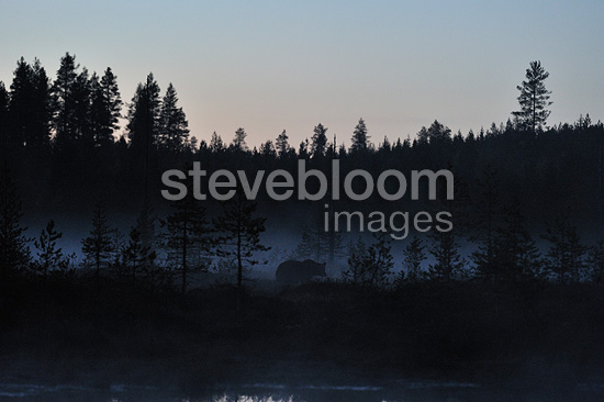 Brown bear out of the forest at dusk Finland (Brown bear)