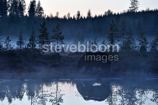 Brown bear in a lake at dusk Finland (Brown bear)
