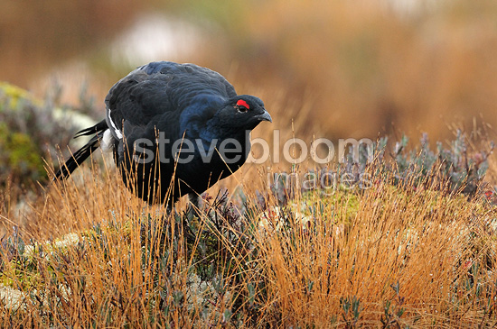 Male Black Grouse in a clearing in fall Finland (Black Grouse)