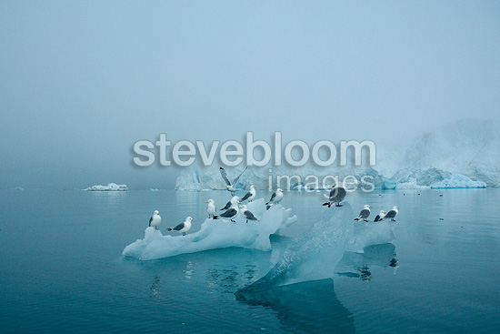 Kittiwakes on Ice Monaco Glacier Svalbard (Kittiwake)
