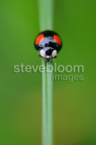 Asian ladybird on a blade of grass France