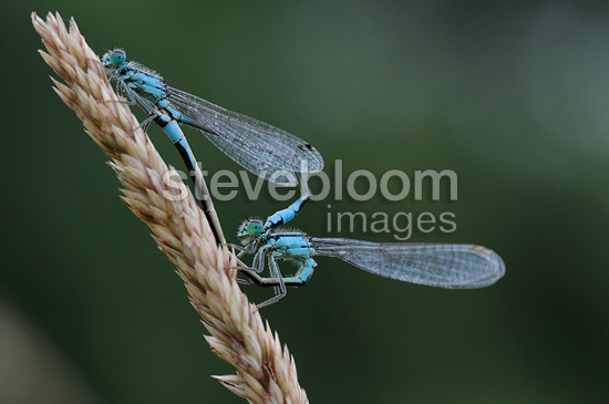 Coupling Agrion elegant in the Meuse France