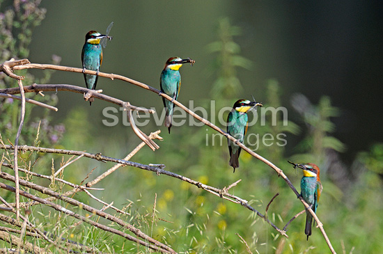 European Bee-eaters with an insect in its beak on a branch (European Bee-eater)