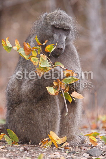 Chacma baboons sitting on the floor eating foliage Kruger NP (Chacma Baboon)