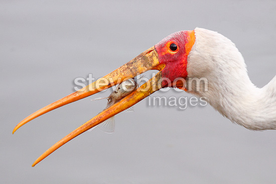 Portrait of Yellow-billed Stork which catch a fish Kruger NP (Southern Ground-Hornbill)