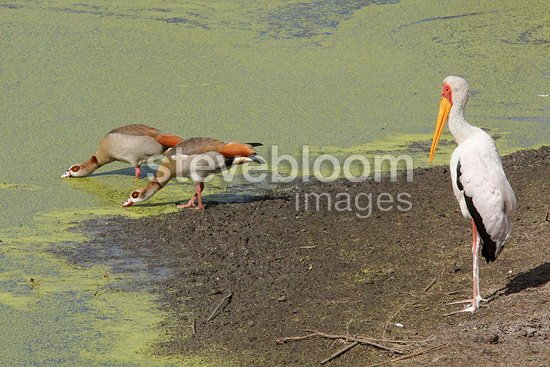 Egyptian geese and Yellow-billed Stork on bank Kruger NP (Egyptian Goose; Yellow-billed Stork)