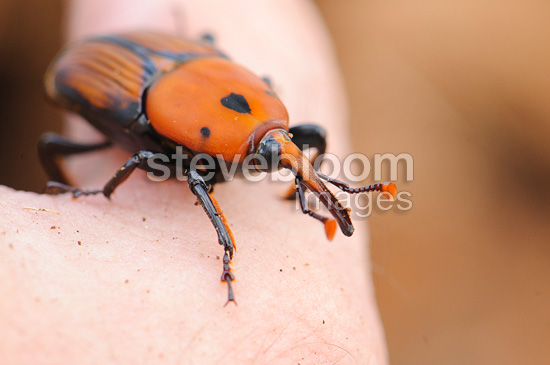 Adult from the Red Palm Weevil in Spain (weevil)