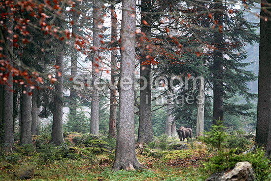 European Bison standing in the mist between trees (European bison)