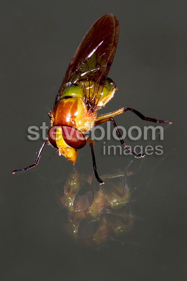 Hover fly and reflection Andes Peru
