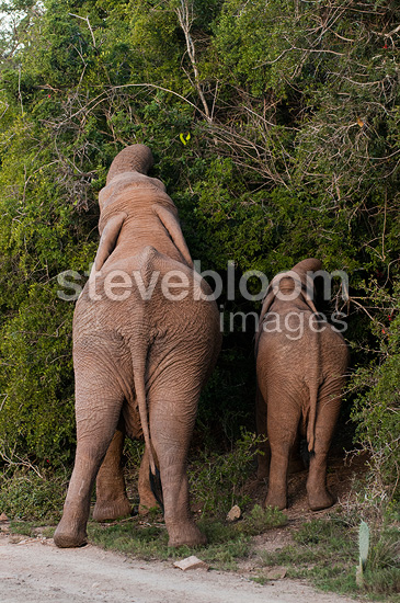 African Elephant and young eating South Africa (African elephant)