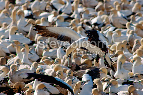 Colony of Cape Gannets Lambert's Bay South Africa� (Cape Gannet)