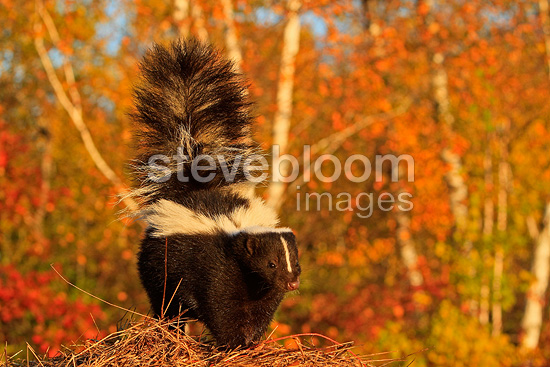 Striped Skunk in Minnesota USA (Striped Skunk )