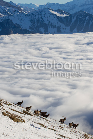 Ibex in rut and sea of clouds Valais Alps Switzerland  (Ibex)