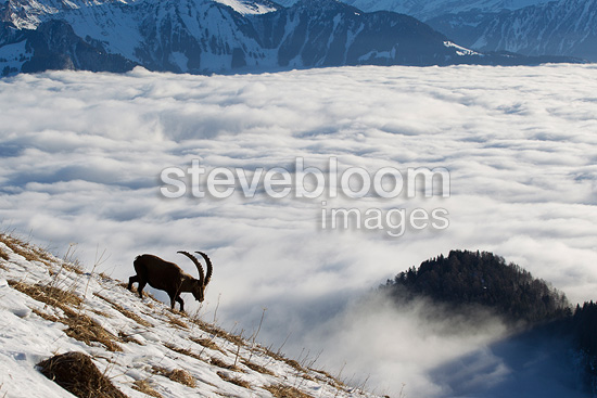 Ibex male in rut and sea of clouds Valais Alps Switzerland  (Ibex)