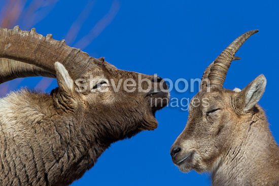 Couple of Alpine Ibex in rut Valais Switzerland  (Ibex)