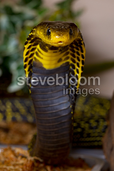 Portrait of Mozambique spitting cobra