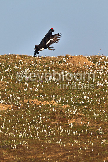 Male grouse on parade in a field of Crocus Switzerland (Black Grouse)