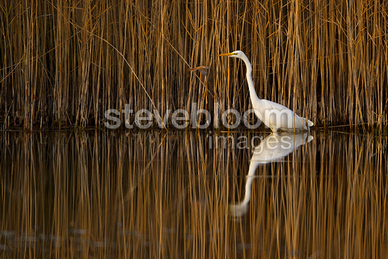 Great Egret in front of a reedbed Lake Neuchatel Switzerland  (Great Egret)