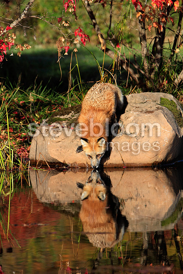 Adult red fox drinking in a river Minnesota USA (red fox)