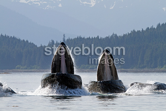 Feeding behavior of humpback whales Alaska (Humpback whale)