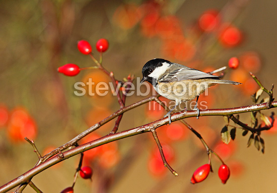 Coal tit perched on a dog rose bush in winter GB (Coal tit)
