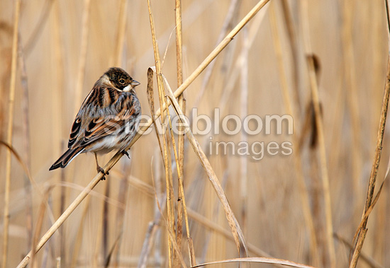 Male Reed bunting perched on a phragmite in winter GB (Reed bunting)