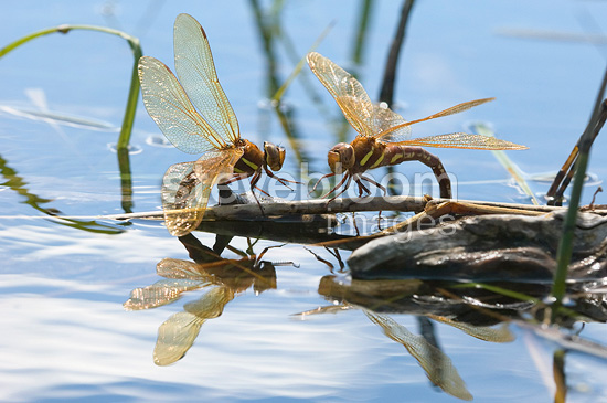 Brown Hawkers sponding to the surface of a lake Jura France (Brown hawker dragonfly)