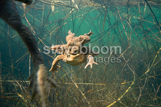 Common toad mating in a lake Jura France (European toad)