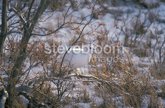 Willow grouse perched in a shrub in the tundra Canada (Willow grouse)