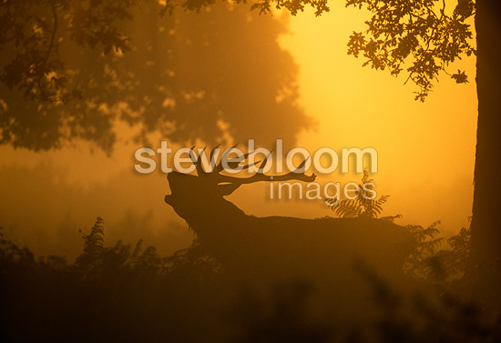 Silhouette of Red Deer stag calling at dawn in autumn UK (Red deer)