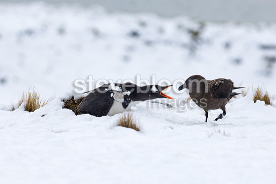 Gentoo Penguin guarding nest from Brown Skua Antarctica (Gentoo penguin)