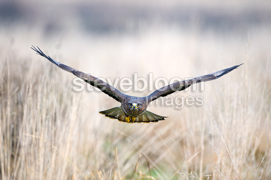 Common Buzzard in flight Gloucestershire UK (Common Buzzard)