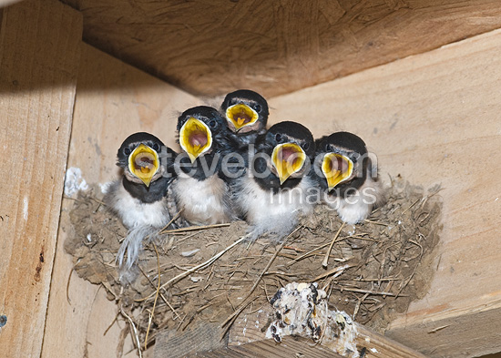 Barn Swallow young in nest  Norfolk UK (Barn Swallow)