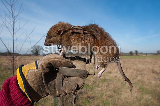 Brown Rat caught in Gin Trap Suffolk UK (Brown rat)