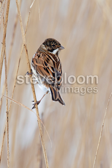 Male Reed bunting perched in a snowy reed bed in winter (Reed bunting)