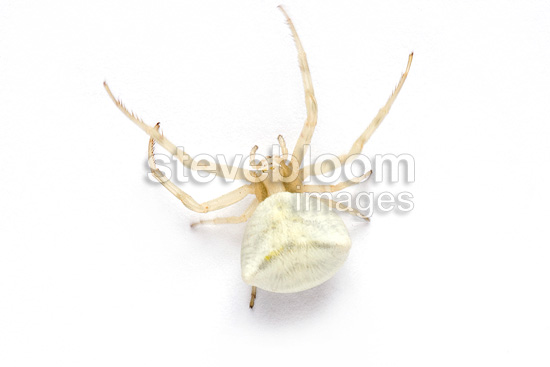 Crab Spider on white background (Spider)