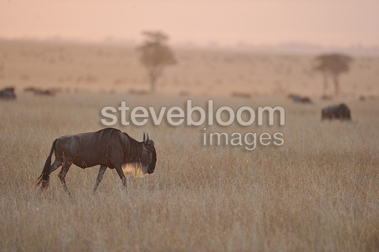 Blue Wildebeests walking at sunset Masai Mara Kenya (Wildebeest )