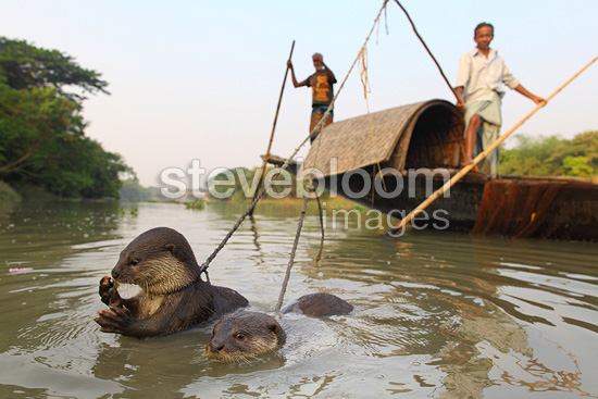 Fishermen on boat and their Otters in the water Bangladesh